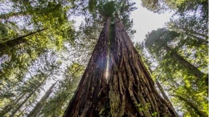 redwood up